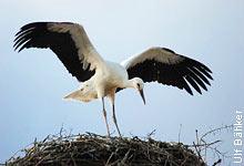 Storchenfreunden gelingt Ringablesung bei einem 23-jährigen Weißstorch