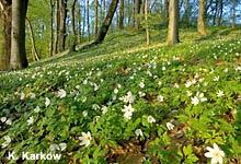 Wie Buschwindröschen, Scharbockskraut & Co. den Frühling einläuten