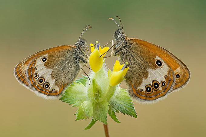 Der Perlgrasfalter wird auch Weißbindiges Wiesenvögelchen genannt - Foto: NABU/Klaus Kiuntke title=