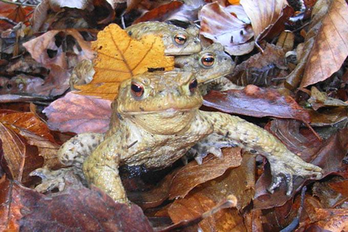 Erdkröten im Laub - Foto: Karl-Heinz Fuldner