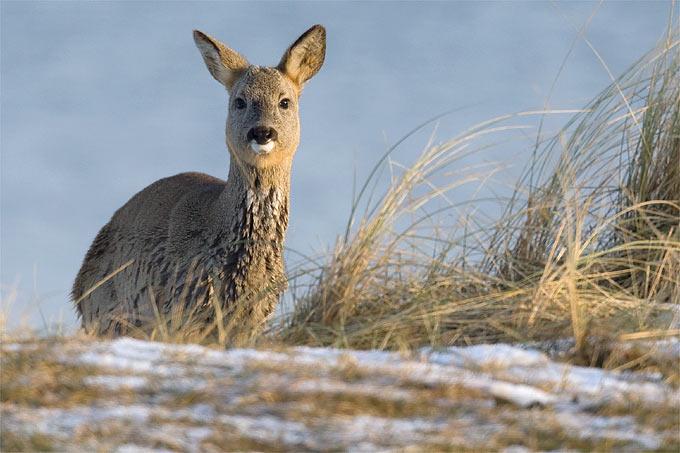Reh im Winter - Foto: Frank Derer