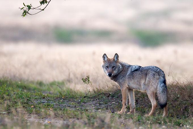 Wolf auf dem Truppenübungsplatz Munster Nord - Foto: Jürgen Borris