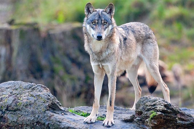 Wolf - Foto: Christoph Bosch