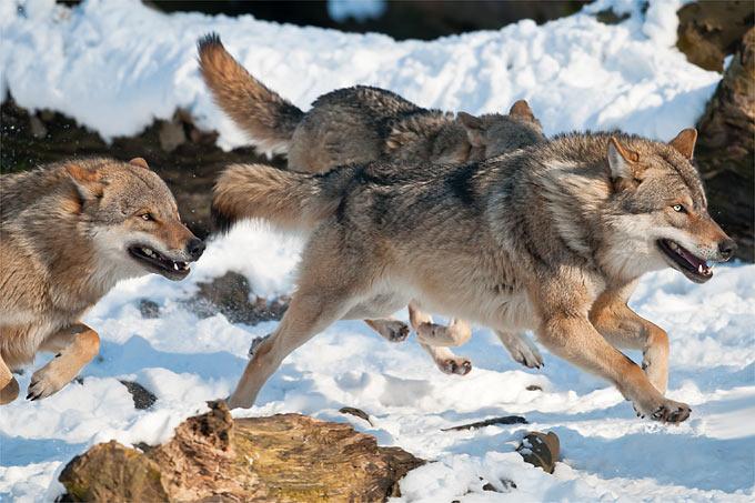 Wölfe - Foto: Christoph Bosch