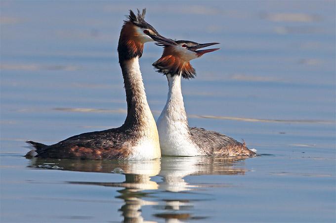 Haubentauer gehören zum Bild auf den Schweriner Seen. - Foto: Frank Derer